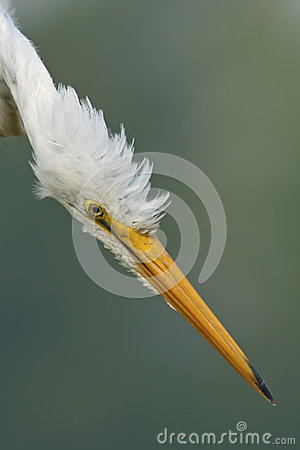 Free Great Egret Head Royalty Free Stock Image - 27622546