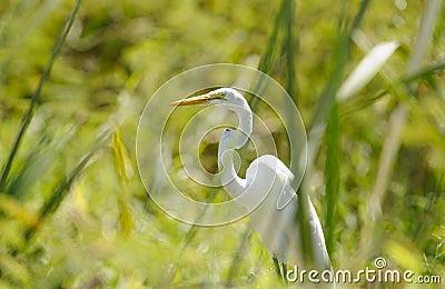 Great Egret hiding between the grass