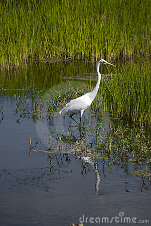 Free Great Egret In The Everglades Stock Images - 11096504