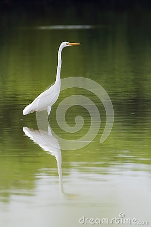 Free Great Egret In The Lake. Stock Images - 129270024