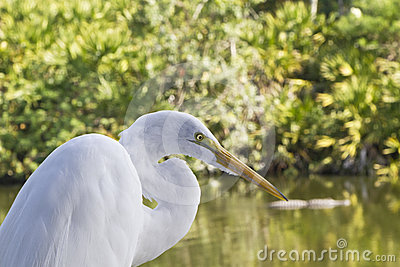 Great Egret in Marsh