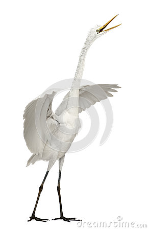 Free Great Egret Or Great White Egret Stock Photo - 24708530