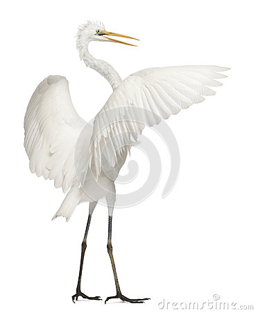 Free Great Egret Or Great White Egret Stock Photo - 24708540