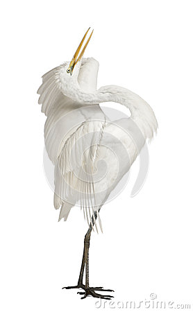 Free Great Egret Or Great White Egret Stock Photos - 24708543