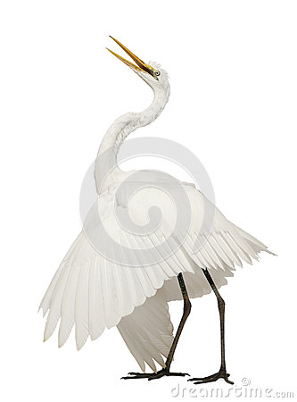 Free Great Egret Or Great White Egret Royalty Free Stock Images - 24708549
