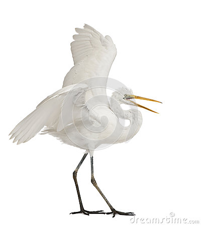 Free Great Egret Or Great White Egret Royalty Free Stock Photo - 24991445
