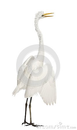Free Great Egret Or Great White Egret Royalty Free Stock Photography - 24991447