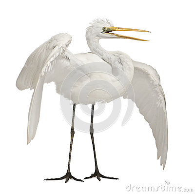 Free Great Egret Or Great White Egret Stock Photo - 24991450