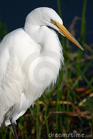 Free Great Egret Portrait Royalty Free Stock Photography - 97517
