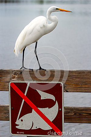 Free Great Egret Standing Above No Fishing Sign Royalty Free Stock Photo - 73734845