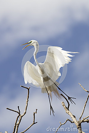 Free Great Egret Taking Off Stock Photos - 38543173