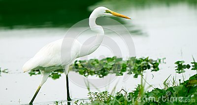 Great egret walking in water of an Asian Sanctuary