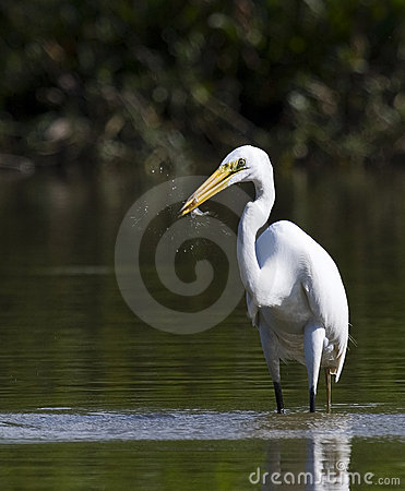 Free Great Egret With Fish Stock Photos - 206233
