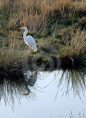 Free Great Egret With Reflection Stock Image - 16058761