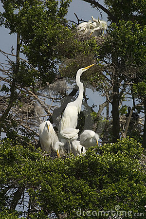 Great egrets and young