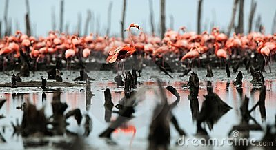 Great Flamingo  (Phoenicopterus ruber)