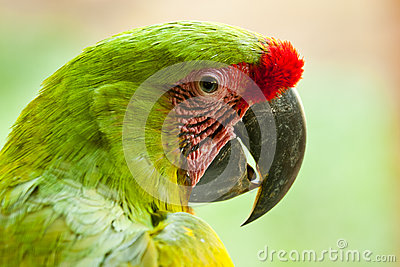 Great Green Macaw Royalty Free Stock Photography - Image: 28284767