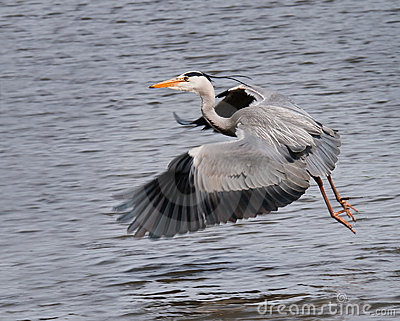 Great Grey Heron (Ardea cinerea) Flies Across Pond