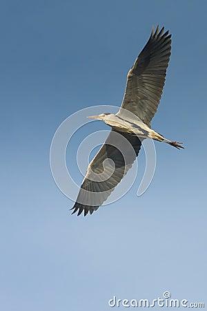Great grey heron in flight against the blue sky /