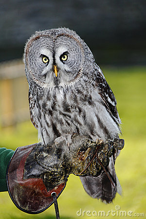Free Great Grey Owl Stock Photography - 18225552