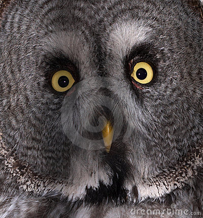 Free Great Grey Owl Royalty Free Stock Image - 2020996