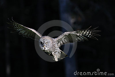 Great Grey Owl in-flight