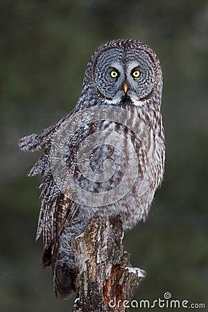 Free Great Grey Owl On Tree Stump In Winter Stock Photo - 83268610