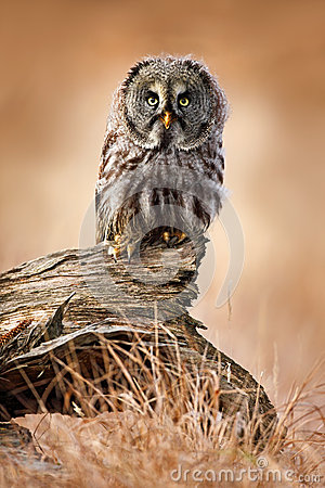 Free Great Grey Owl, Strix Nebulosa, Sitting On Old Tree Trunk With Grass, Portrait With Yellow Eyes Stock Image - 67953241