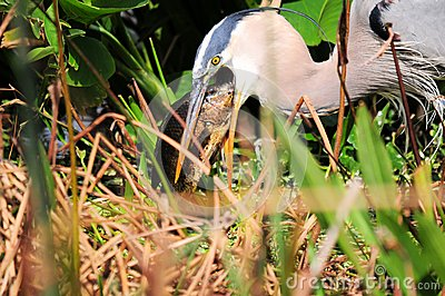 Great heron eats big fish