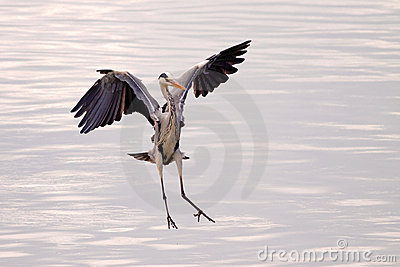 Great heron flying