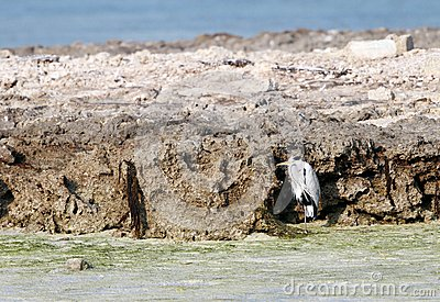 Great herons protecting itself from the wind