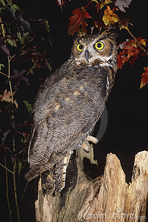 Free Great Horned Owl Stock Image - 1128321