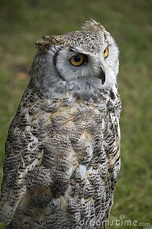 Great Horned Owl Stock Photo - Image: 2655210