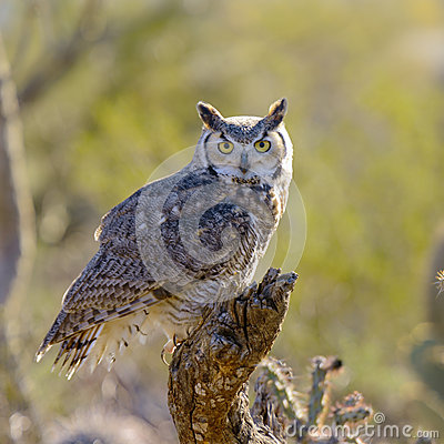 Free Great Horned Owl Royalty Free Stock Photos - 36870208