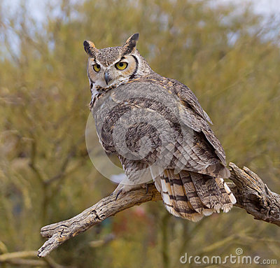 Free Great Horned Owl Stock Images - 44529484