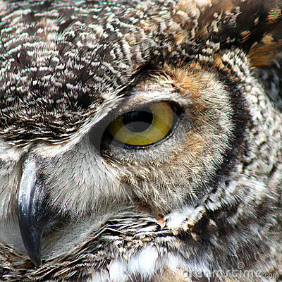 Free Great Horned Owl Royalty Free Stock Images - 5829409