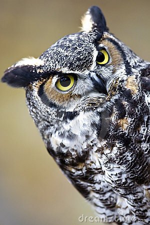 Free Great Horned Owl Stock Images - 7213524