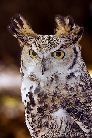 Great Horned Owl (Bubo virginianus) Intense Stare