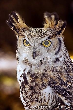 Great Horned Owl (Bubo virginianus) Intense Stare