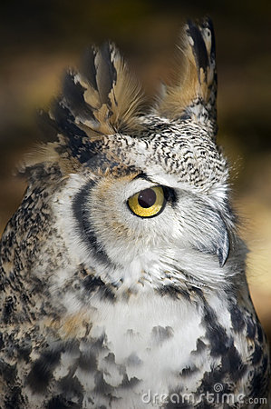 Great Horned Owl (Bubo virginianus) Profile