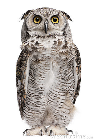 Free Great Horned Owl, Bubo Virginianus Subarcticus Stock Photos - 16407823