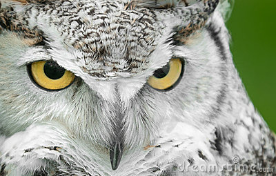 Great Horned Owl (Bubo virginianus) Turn Stare