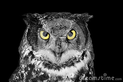 Great Horned Owl In BW Stock Photo - Image: 53237409