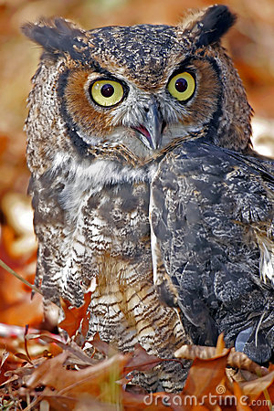 Great Horned Owl in Colorful Fall Leaves