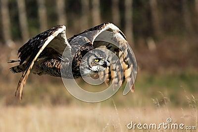 Great Horned Owl In Flight