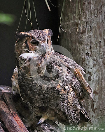 Free Great Horned Owl Florida Stock Images - 95560954