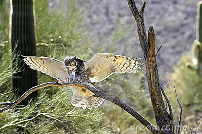 Great Horned Owl Landing