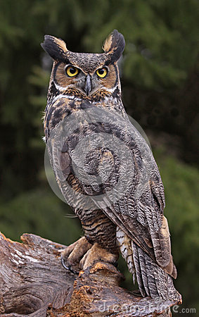 Free Great Horned Owl Look Royalty Free Stock Photo - 31115455