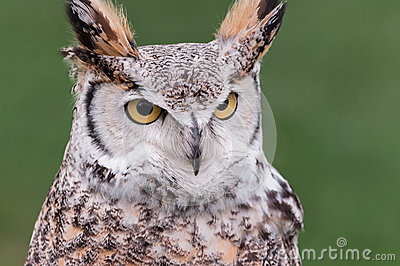 Great Horned Owl Looks Right