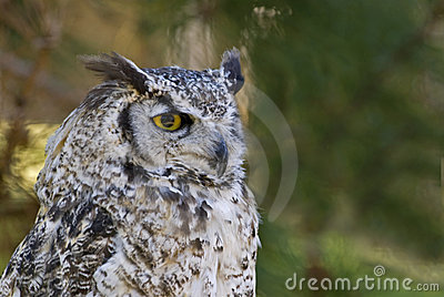 Great horned owl pale form (bubo virginianus)